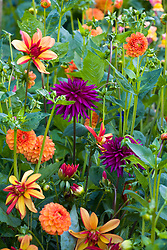 Gatecrasher dahlia collection. Dahlia 'Jescott Julie', New Baby' and 'Ambition'