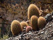 A happy group of six barrel cactus at Lava Falls Rapid at Colorado River Mile 179.7. Day 13 of 16 days rafting 226 miles down the Colorado River in Grand Canyon National Park, Arizona, USA.