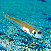 Rosy Razorfish inhabit sandy areas often adjacent sea grass beds in Tropical West Atlantic; picture taken Grand Cayman.