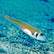 Rosy Razorfish inhabit sandy areas often adjacent sea grass beds in Tropical West Atlantic; picture taken Grand Cayman.