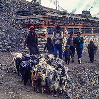 Goats crowd a trail in Manang village north of Annapurna in Nepal.