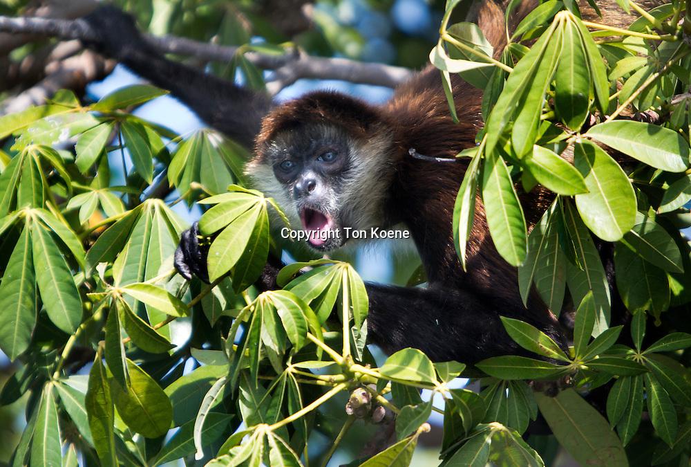 capuchin monkey in nicaragua