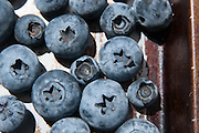 Close up photos of u-pick blueberries