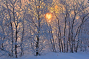 Poplar trees covered in hoarfrost at sunrise<br />Dugald<br />Manitoba<br />Canada