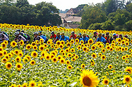 Illustration, Scenery, Sunflowers, peloton during the 105th Tour de France 2018, Stage 18, Trie sur Baise - Pau (172 km) on July 26th, 2018 - Photo Luca Bettini / BettiniPhoto / ProSportsImages / DPPI