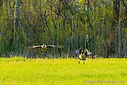 20170430_dickman_farms_home_geese_sl1_300mm_460mm_aps-c_diane_duthie_