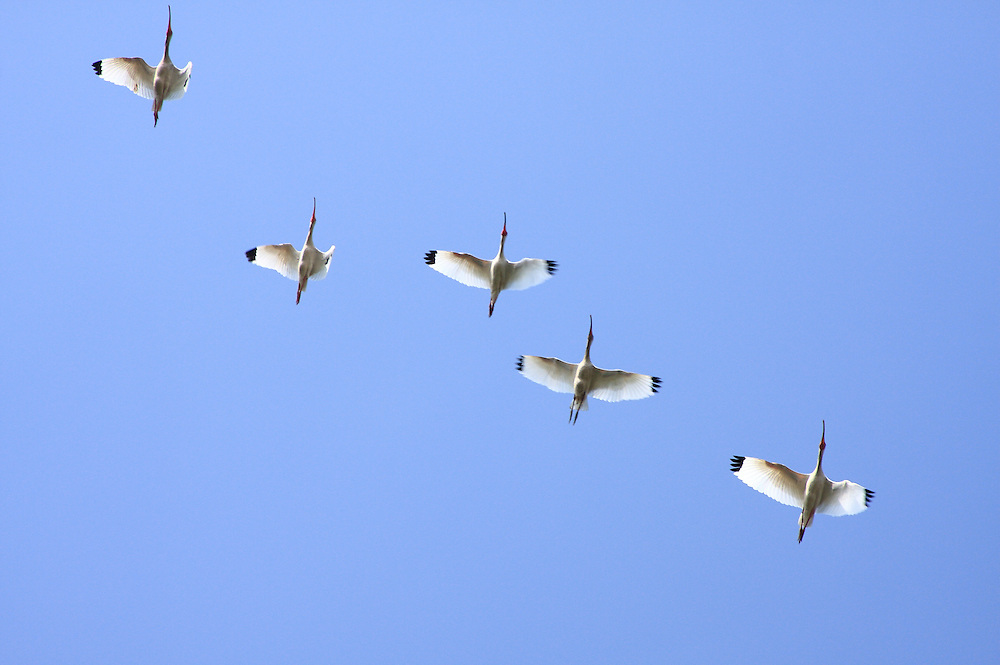 White Ibis, White Lake Wetlands Conservation Area