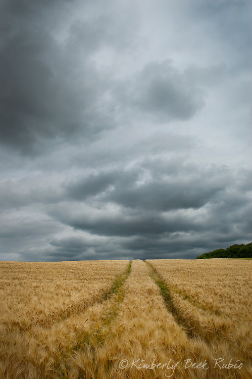 Stormy sky over a barley field in Champagne, France, with tractor tracks disappearing over the horizon.