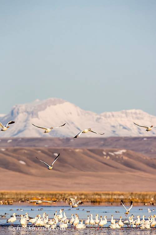 Snow geese take off from pond at Freezeout Lake WMA near Fairfield, Montana, USA