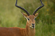 The impala chewed the grass slowly, gradually pulling the long stems into its mouth.  He twicked his ears back and forth, always attentive to what was around him.