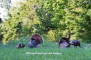 00845-07301 Eastern Wild Turkeys (Meleagris gallopavo)  in field, Holmes Co., MS