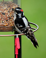 Downy Woodpecker (Dryobates pubescens). Image taken with a Fuji X-T2 camera and 100-400 mm OIS telephoto zoom lens.