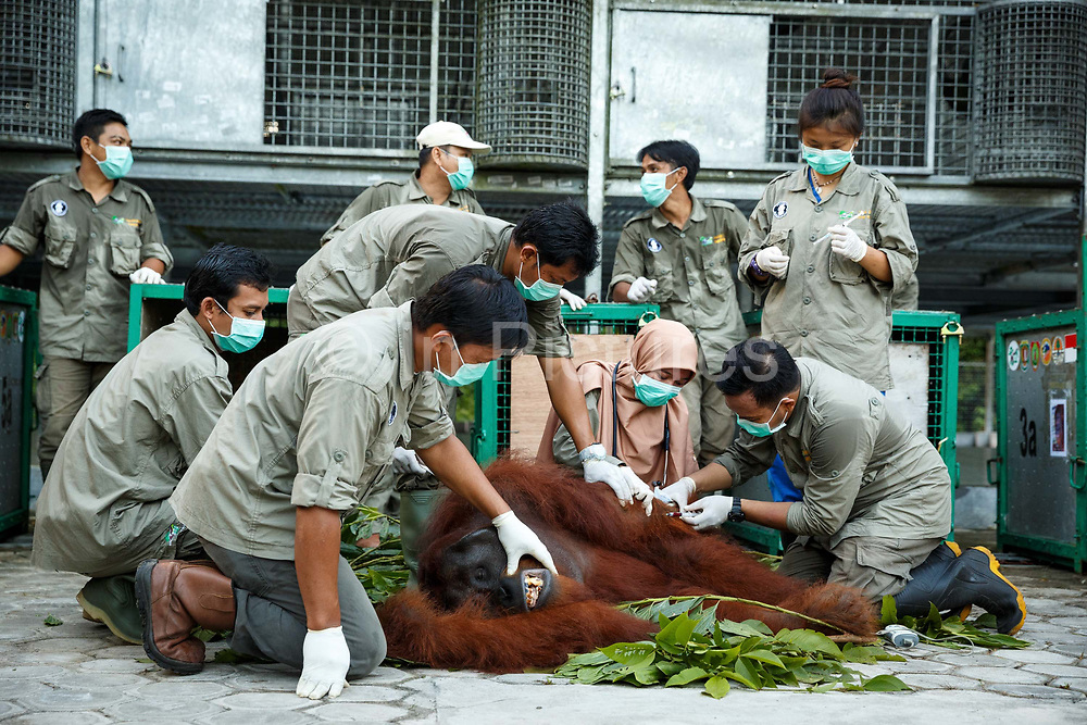 The animal welfare team examines Kato, a large sedated male orang-utan after sedating him in Nyaru Menteng Rehabilitation Centre, run by the Borneo Orangutan Survival Foundation, in Central Kalimantan, Borneo, Indonesia on 22nd May 2017. Kato will be taken by road and river to a release site in Bukit Baka Bukit Raya National Park. The centre houses around 450 rescued orangutans who have been displaced from their habitats by human activity. Many of them will be reintroduced into the wild, but some animals have illnesses or injuries that means they have to remain in the sanctuary indefinitely.