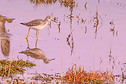 Greater Yellowlegs breed in the Arctic and some winter in the Pacific Northwest, most go farther south though.