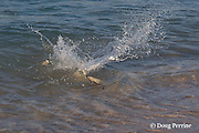 blackfin or blacktip reef sharks, Carcharhinus melanopterus, in frenzied competition for bait fish at the beach, Turu Cay, Torres Strait, Queensland, Australia