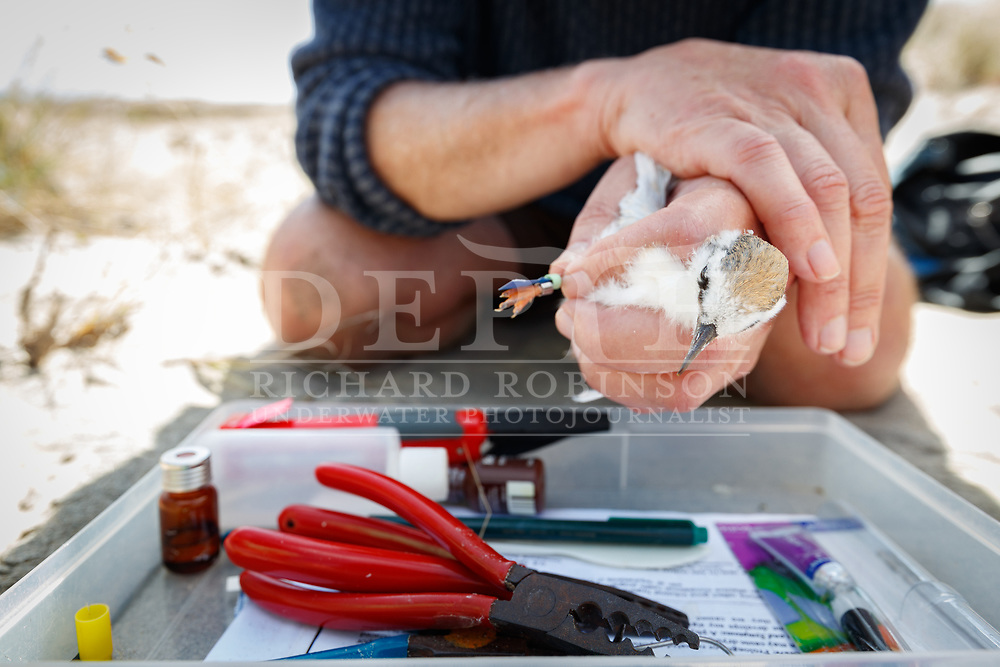 """DOC technical advisor Tony Beauchamp catches a chick at Mangawhai to band with the colours pGY-pGM. Fairy terns are called after the colours of their leg bands —unlike kakapo, all 211 of which receive individual names. Beauchamp is opposed to names. He says he doesn't want people to get too attached to the birds, and to focus on recording specific bands. """"If people are tuning in on their bands, we know they have definitely seen that bird. When they have names, some people have a tendency just to assume.""""<br /> Shot on assignment for New Zealand Geographic Issue 162 March - April 2020.<br /> Read the Feature: https://www.nzgeo.com/stories/fallen-from-grace/"""