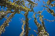 Ocotillo and blue sky in the Anza Borrego Desert of southern California, USA