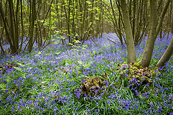 Bluebells - Hyacinthoides non-scripta - in a wood on the Sissinghurst Estate