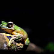 A Wallace's flying frog ( Rhacophorus nigropalmatus ) pictured in the Leuser ecosystem. Photo: Paul Hilton for RAN