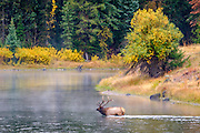 He forged the river to return to his harem of female elk.