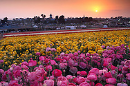 Rows of colorful Giant ranunculus flowers bloom in a field during a spring sunset over Carlsbad, San Diego County, California