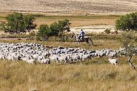 PAISANO A CABALLO ARREANDO OVEJAS, ESTANCIA LELEQUE, PROVINCIA DEL CHUBUT, ARGENTINA (PHOTO © MARCO GUOLI - ALL RIGHTS RESERVED)