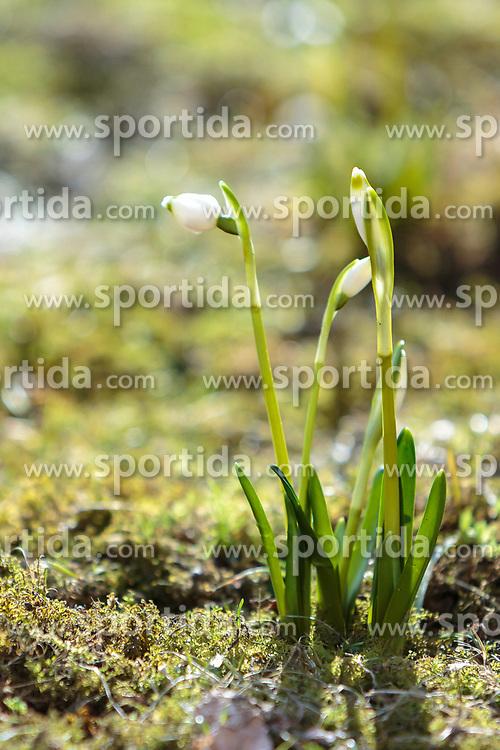 THEMENBILD - die Blüte der Frühlingsknotenblumen auf einer Lichtung im Wald, aufgenommen am 18. März 2018, Kaprun, Österreich // Spring knot flowers on a glade in the forest on 2018/03/18, Kaprun, Austria. EXPA Pictures © 2018, PhotoCredit: EXPA/ Stefanie Oberhauser