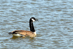 Canadian Goose or Geese (Branta canadensis)