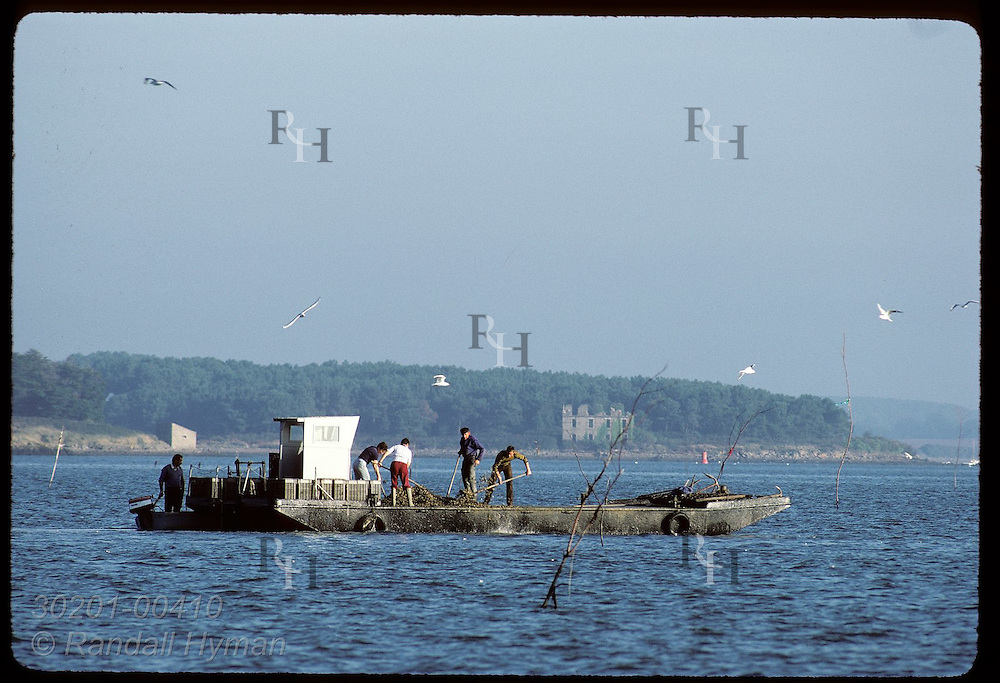 Oystermen on pontoon boat sowing Japanese oysters in the Gulf of Morbihan, Brittany. France