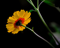 Plains Coreopsis Flower. Image taken with a Fuji X-T3 camera and 80 mm f/2.8 OIS macro lens (ISO 160, 80 mm, f/2.8, 1/125 sec).