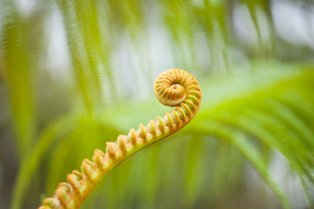 Unfurling frond of an endemic amau fern (Sadleria cyatheoides or pallida) along the Pihea Trail, Kokee State Park, Kauai, Hawaii.