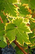 Vine leaf. Merlot. Cabernet Franc. Chateau Paloumey, Haut Medoc, Bordeaux, France.