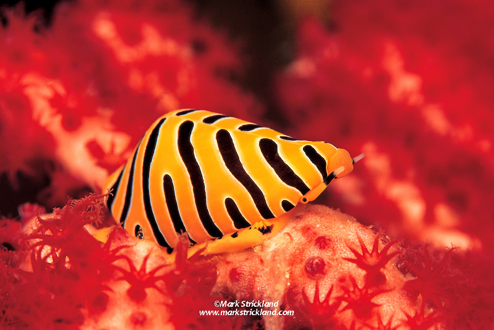 A tiny Tiger Ovulid, Cuspivolva tigris, makes its way through a forest of gorgonian coral polyps, which are open and feeding in the current. The Ovulid, which belongs to a group of sea snails known as Allied Cowries, lives and feeds upon gorgonians of the genus Euplexaura. The striking coloration is only a thin, fleshy mantle; the actual shell is rather drab. Richelieu Rock, Thailand, Andaman Sea