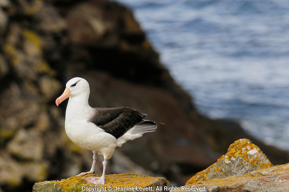 black browed albatross with brown and yellow clifts making a graphic background.