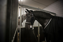Painted Black  <br /> Departure of the horses to the World Cup Finals in Las Vegas from Schiphol - Amsterdam 2015.<br />  © Hippo Foto - Dirk Caremans