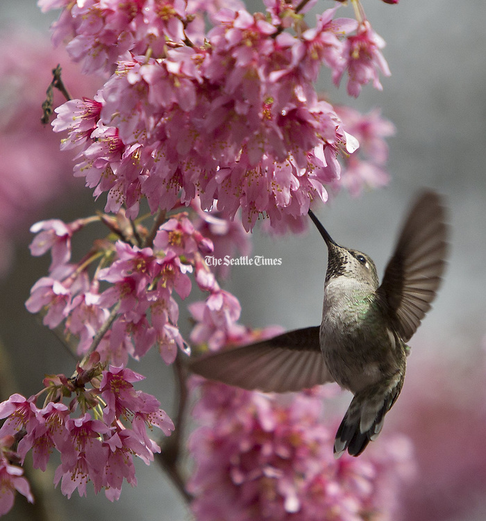 A Black-Chinned Hummingbird takes advantage of new blossoms on a tree in the Washington Park Arboretum near the Azalea Way trail on a spring day that saw both rain and sun. (Steve Ringman / The Seattle Times)