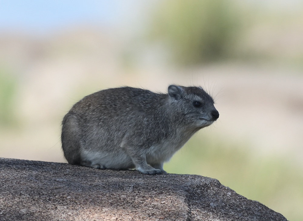 A yellow-spotted rock hyrax or bush hyrax (Heterohyrax brucei) sits on the rocky outcrop where it lives. Serengeti National Park, Tanzania.