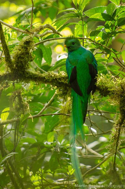 Resplendent Quetzal (Pharomachrus mocinno), Monteverde Cloud Forest Biological Reserve, Monteverde, Costa Rica