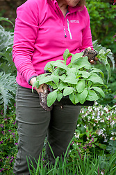 Carrying tray of young foxgloves ready to plant out in a border. Digitalis purpurea.