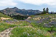 Wildflowers (mostly Lupines, Magenta Paintbrush and Alpine Asters) and peaks of the Cascade Range photographed along the Naches Peak Loop Trail near Mount Rainier National Park in Washington State, USA.  This half of the loop is just outside of the park boundaries, but the return part of the loop is within Mount Rainier National Park, so I included it as part of the park regardless.