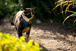 Zelda the cat prowls the back yard of her Oakland, Calif. home, Tuesday, July 14, 2020. (Photo by D. Ross Cameron)