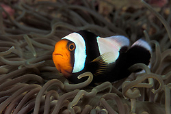 Saddleback Anemonefish, Amphiprion polymnus, snuggling among the tentacles of its sea anemone host.  Ko Tao, Thailand, Gulf of Thailand, Pacific Ocean