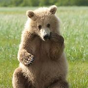 Alaska brown bear (Ursus middendorffi) in Katmai National Park & Preserve, Alaska.