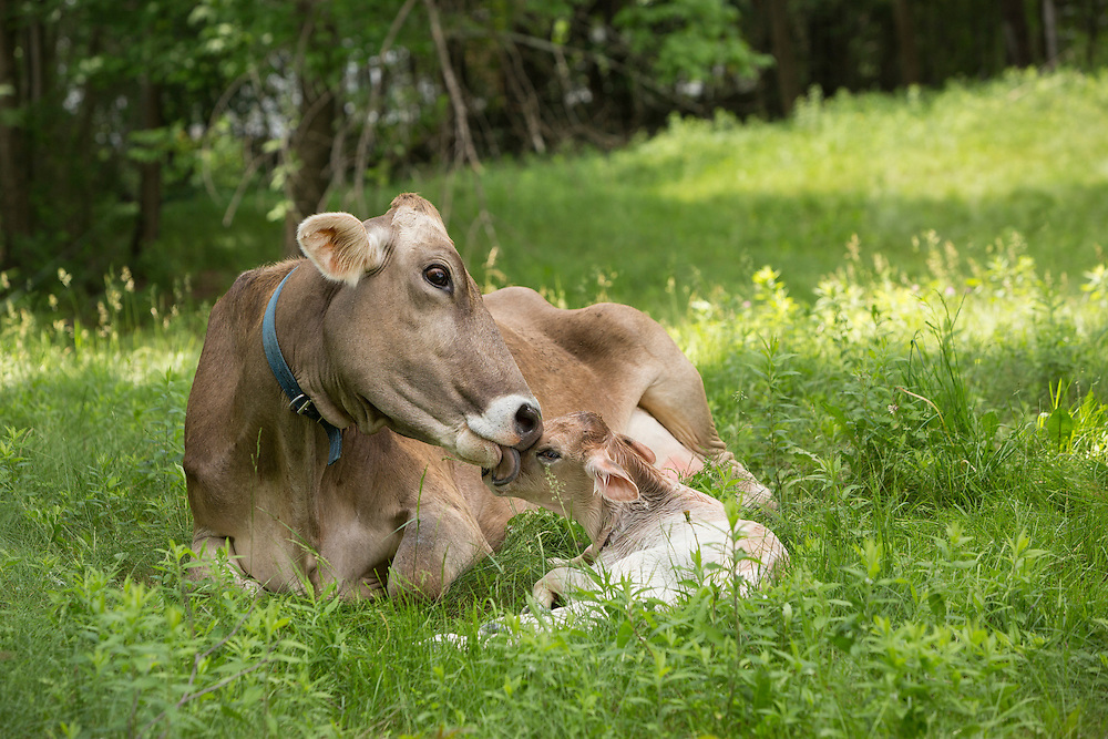 Brown Swiss Cow licking her newborn calf
