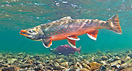 Dolly Varden (with Sockeye Salmon in Background)<br /> <br /> Patrick Clayton/Engbretson Underwater Photography