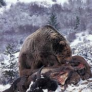 Grizzly Bear, (Ursus horribilis) Montana. Feeding on bison carcass. Rocky mountains.   Captive Animal.