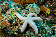 Sea Star (Asteroidea)<br /> Raja Ampat<br /> West Papua<br /> Indonesia