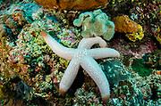Sea Star (Asteroidea)<br /> Raja Ampat<br /> West Papua<br /> Indonesia