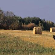 Black Bear, (Ursus americanus) In farmland in southern Manitoba. Canada.