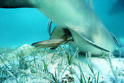 live birth of lemon shark, Negaprion brevirostris, pup emerges tail first, wrapped in chorionic membranes , Bahamas ( Western Atlantic Ocean )